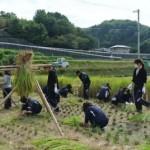 稲刈り、はぜかけ作業を行う学生たち