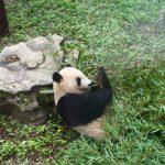 かわいいパンダ♥